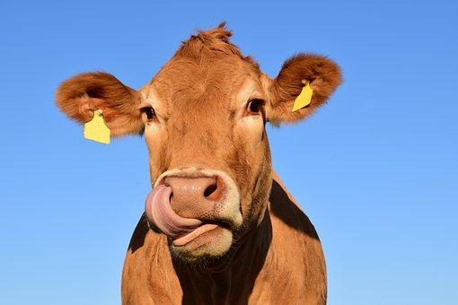 cow-1715829__340