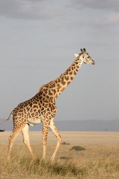 giraffe-171318_960_720